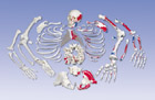 Disarticulated Painted Full Skeleton with 3 part skull