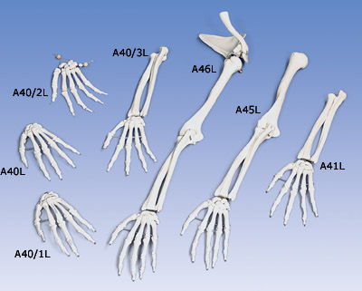 Loose Hand Skeleton with Ulna and Radius, Left