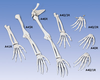 Loose Hand Skeleton with Ulna and Radius, Right