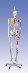 Muscle Skeleton Max, on hanging stand