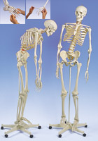 Flexible Skeleton Fred, on 5-feet roller stand (1 hand and 1 foot flexible)