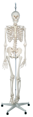 Physiological Skeleton Phil, on hanging roller stand