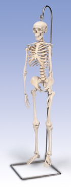 "Mini Skeleton ""Shorty"", on hanging stand"