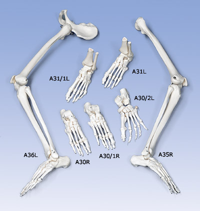 Loose Foot and Ankle Skeleton,  left