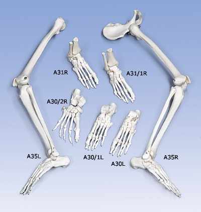 Loose Foot and Ankle Skeleton, right