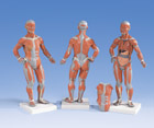 Muscular Figure, 1/4 life-size, 2-part