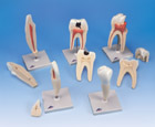 Classic Tooth Model Series, 5 models
