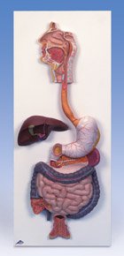 Digestive System, 3-part