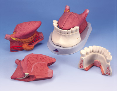 Tongue Model, 2.5 times life-size, 4-part